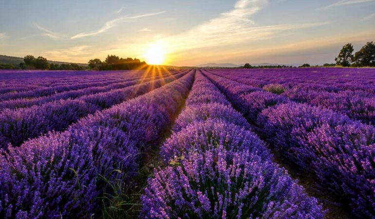 Stop and Smell the Flowers: 3 Days of Lavender Season in Provence
